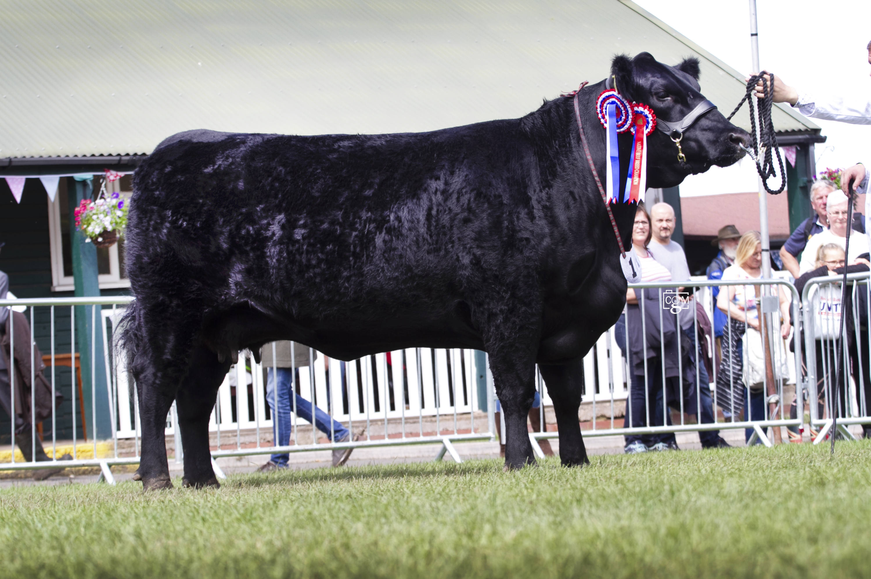 Royal Three Counties Show - Cattle Interbreed Champion - Aberdeen Angus, Rodmead Bonnie Lass from Mr Angus Neish of Warminster (C)Chrissie Long.jpg