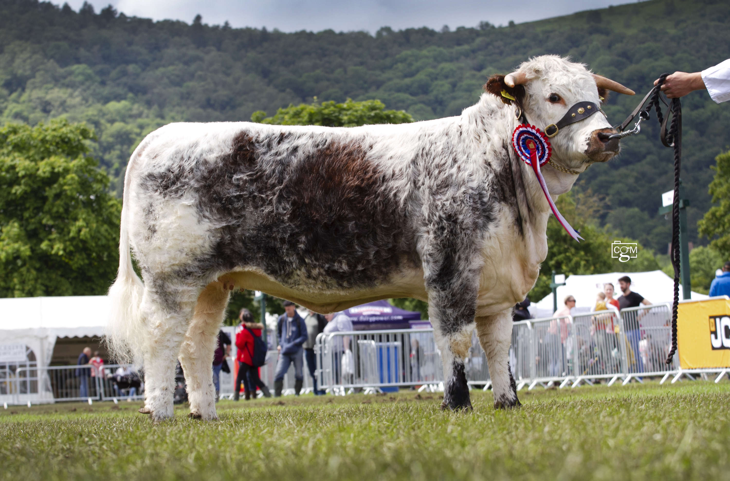Royal Three Counties Show - Cattle Interbreed Champion Sunday - Longhorn, Gentons Sara from Bertie Facon of Banbury (C)Chrissie Long.jpg